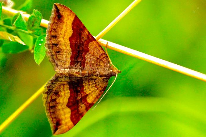 inseto noturno mariposa