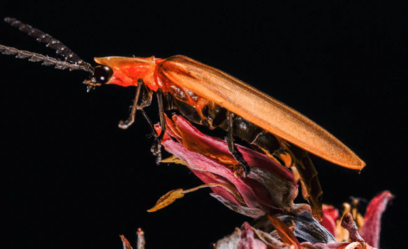 vagalume inseto