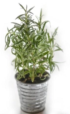planta repelente insetos